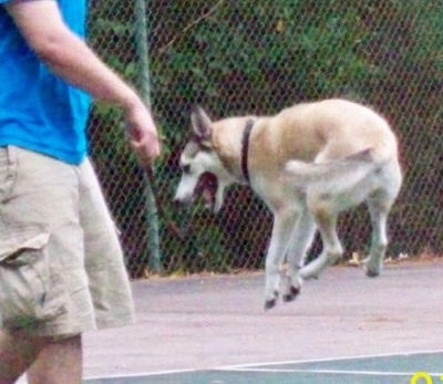 Action shot - A white with tan and black Gerberian Shepsky is jumping in mid-air to grab a stick that is held by a person in cargo shorts and wearing a blue shirt out on a tennis court