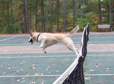 A white with tan and black Gerberian Shepsky is jumping over a net on a tennis court