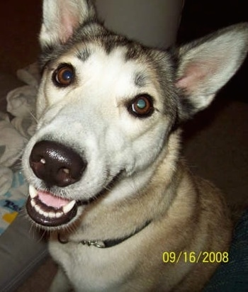 Close up upper body shot - A white with tan and black Gerberian Shepsky is sitting inside of a house looking happy.