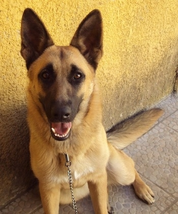 A black and tan German Shepherd is sitting against a yellow stucco wall. It is looking up and its mouth is open