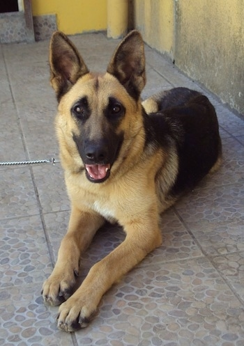 A black and tan German Shepherd is laying on a tiled floor with yellow walls behind it. Its mouth is open, it looks like it is smiling