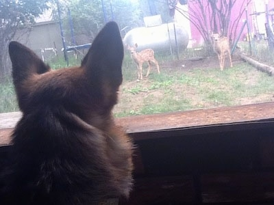 A black and tan German Shepherd is watching baby deer that still have their spots outside of a window.