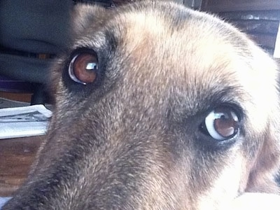 Close Up - A black and tan German Shepherds eyes