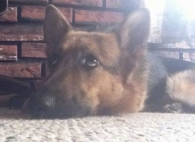 Close Up - A black and tan German Shepherd is laying down inside of a home on a tan carpet and there is a brick wall behind it