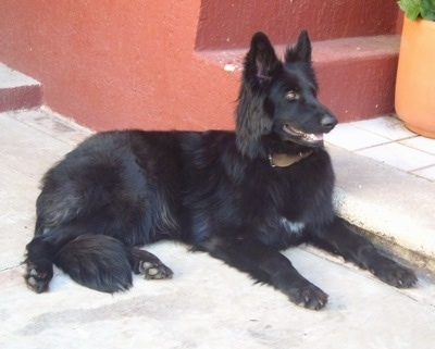 A black German Shepherd is laying outside in front of a red cement staircase. Its mouth is open and looking forward