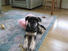 A black with tan German Shepherd puppy is laying on a throw rug that is on a hardwood floor. There is a pink pillow behind it and a bone next to its paw