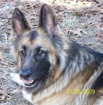 German Shepherd how can i tell if its a pure bread?
