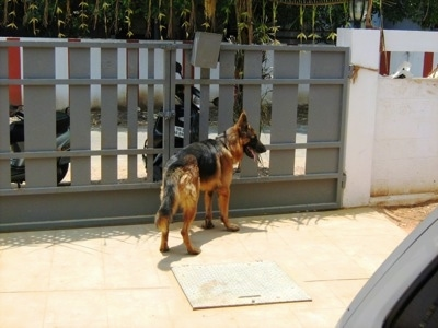 Mike the purebred German Shepherd at about 18 months from India