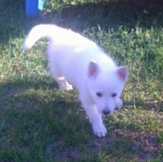 A White German Shepherd puppy is walking up a yard, its right paw is stepping in mud and it is looking forward.
