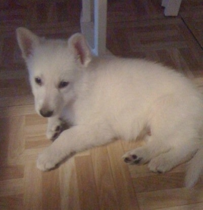 Max the White German Shepherd Puppy laying on a tiled hardwood floor under a table