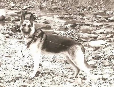 A black and white photo of a German Shepherd standing outside and looking to the left