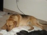 A tan with black German Sheprador is sleeping on top of a white blanket on a floor.