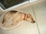 A tan with black German Sheprador is sleeping in a tan dog bed on a tan tiled floor. There is a sliding door behind it