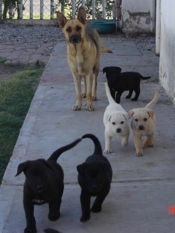A line of five German Sheprador puppies are walking two by two along the side of a house. There is a German Shepherd dog behind them next to another puppy.