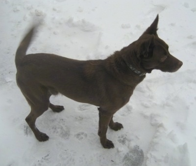 A chocolate German Sheprador is standing outside in snow with its tail wagging.