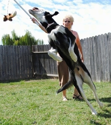 A black with white and tan German Sheprador is jumping at a toy attached to a rope and stick. The toy is being swung around by a lady who is behind the dog. They are in a backyard with a wooden privacy fence around it.