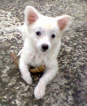 A white German Spitz puppy is laying outside on a rock surface with a rawhide chew under his right paw