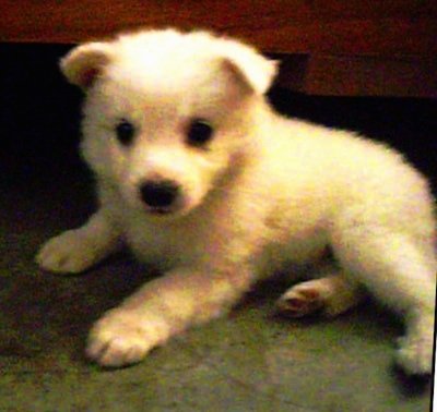 A small white Giant German Spitz puppy is laying on a floor in front of a couch.
