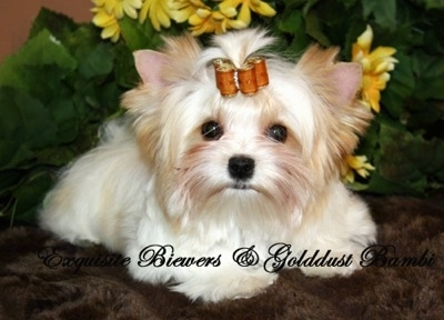 A white with tan Golddust Yorkie is laying on a fuzzy rug. There is a plant behind it. It has rollers in its hair. The Words - Exquisite Biewer and Golddust Bambi - are overlayed
