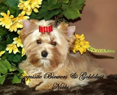 A brown with white Golddust Yorkie is laying on a fluffy rug. There is a plant with yellow flowers next to it. The words - Exquisite Biewers and Golddust Nicki - are overlayed