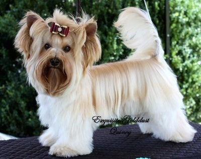 Golddust Yorkshire Terrier Dog Breed Information And Pictures