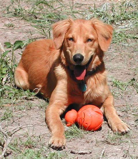 An orange colored Golden Border Retriever dog is laying in a patchy yard with an orange ball toy in front of it