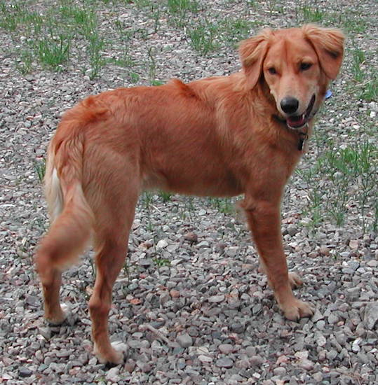 An orange colored Golden Border Retriever dog is standing on rocks with little bit of grass spouting out from in between them. The Retriever is looking back. Its mouth is open.