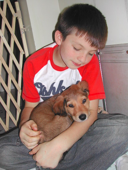 A Golden Border Retriever puppy is curled up in a boys lap. The puppy is looking forward and the boy is looking down at the puppy.