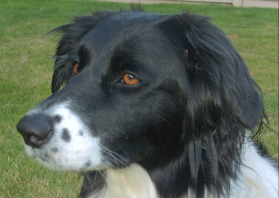 Close Up head shot - A black with white Golden Border Retriever is sitting in a grassy yard and looking to the left