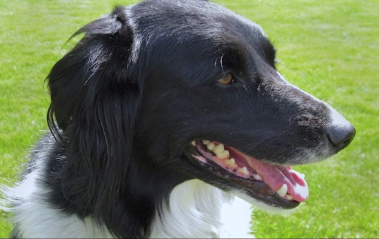 Close Up - A black with white Golden Border Retriever is sitting in a field and looking to the right