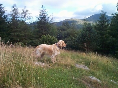 A Golden Cocker Retriever is standing in a field with pine trees and a view of a mountain behind it.