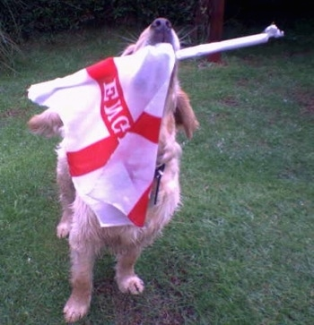 A Golden Cocker Retriever is outside in grass looking up with a white and red emergency flag in its mouth