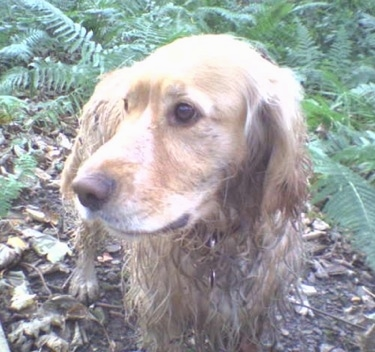 A wet Golden Cocker Retriever is walking through a path in between leaves in the woods and looking to the left.