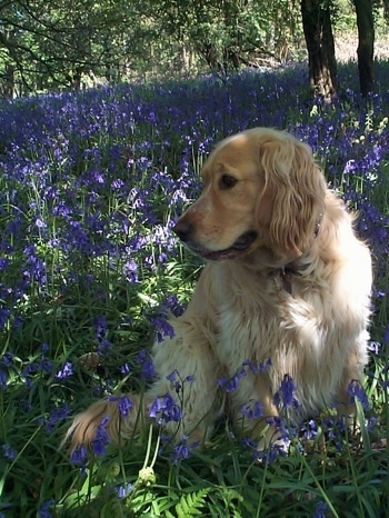 A Golden Cocker Retriever is sitting in a lilac field under the shade of a tre looking to the left