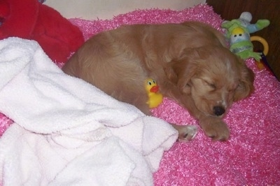 A Golden Cocker Retriever puppy is sleeping on a fuzzy pink blanket. There is a rubber duck toy next to its body and a green duck toy behind its head.