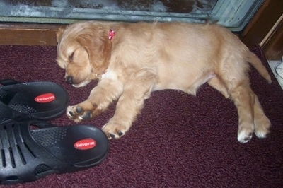 A Golden Cocker Retriever puppy is sleeping on its side in front of a sliding door. There are black slippers in front of it.