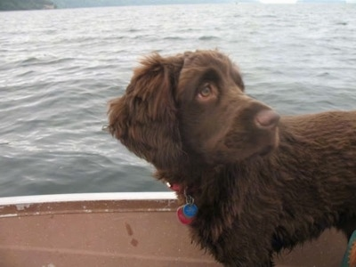 A chocolate Golden Cocker Retriever is standing on a boat that is out on the water