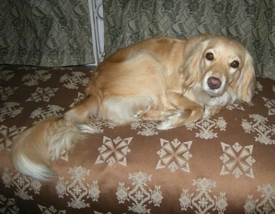 A Golden Cocker Retriever is curled up on a brown couch