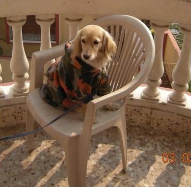 A Golden Cocker Retriever is wearing a camo jacket sitting outside in a tan plastic chair on a porch.