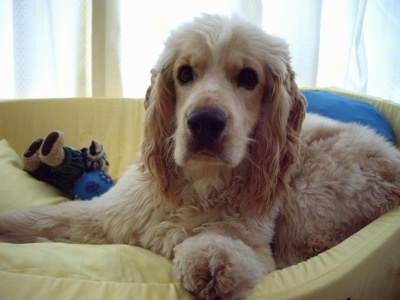 Close Up - A Golden Cocker Retriever is laying in a yellow dog bed with dog toys behind it.