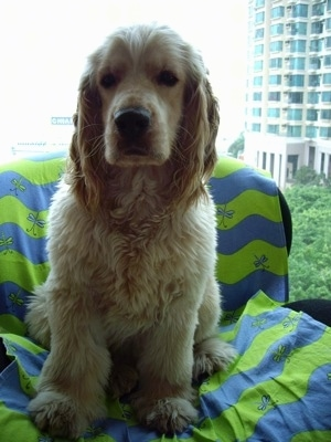 A Golden Cocker Retriever is sitting on a green and blue striped blanket on a chair in front of a high rise building window with a view of other buildings.