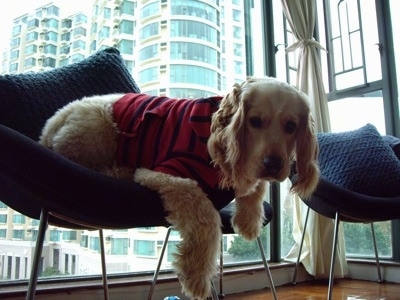 A Golden Cocker Retriever wearing a red with blue stripped shirt is laying in a blue chair with paws are hanging over the edge. It is in front of a large window with a view of a tall building behind it.