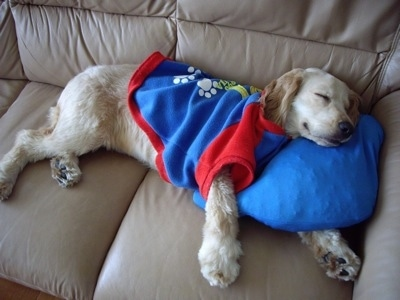 A Golden Cocker Retriever wearing a blue with red shirt is sleeping on a tan leather couch on top of a blue pillow.