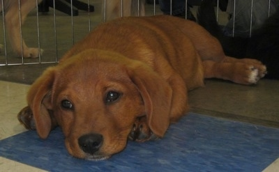 Close Up - A Golden Dox puppy is laying down on a blue tiled floor. There is another dog next to it behind a metal gate.