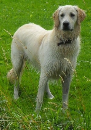 A wet Golden Retriever is standing in grass. It is looking slightly to the left