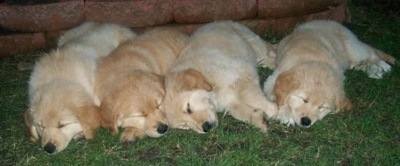Four Golden Sammy puppies are sleeping in a row next to each other outside in front of a short brick wall