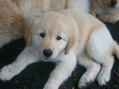 Golden Retriever/Samoyed Puppy (Golden Sammy).