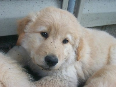 Close Up - A Golden Sammy puppy is laying in front of the siding of a house