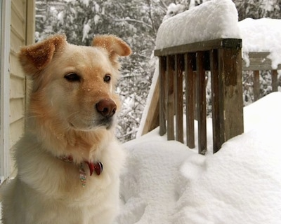 A Gollie is sitting on a snow covered wooden deck next to a yellow house. The snow is about 18 inches deep and is also on the dog's face.