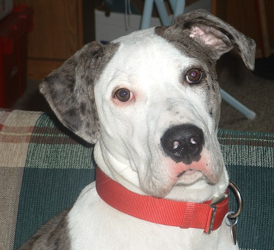The face of a white and grey with black merle color Great Danebull sitting on a couch